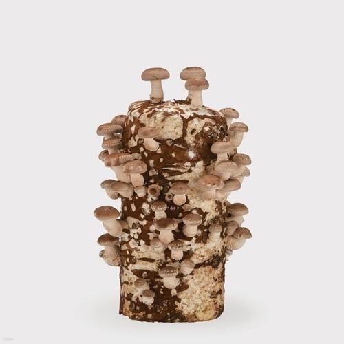 무럭무럭 표고버섯 키우기 키트 1입