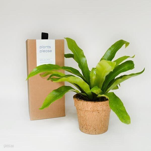코코넛화분+선물박스 천연 공기청정기 공기정화 습도조절 인테리어 식물키우기_아비스