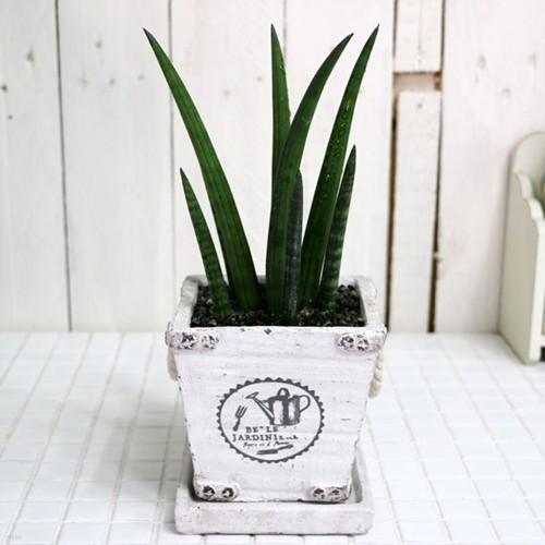 공기정화식물-빈티지스투키