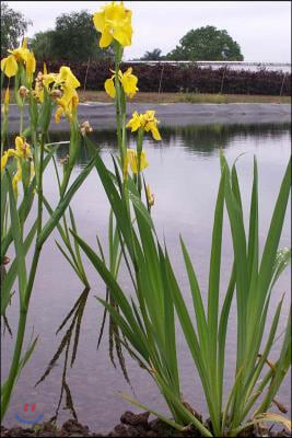 Yellow Iris Pseudacorus Growing by a Pond Journal: Take Notes, Write Down Memories in This 150 Page Lined Journal