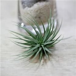 공기정화식물-에어플랜트