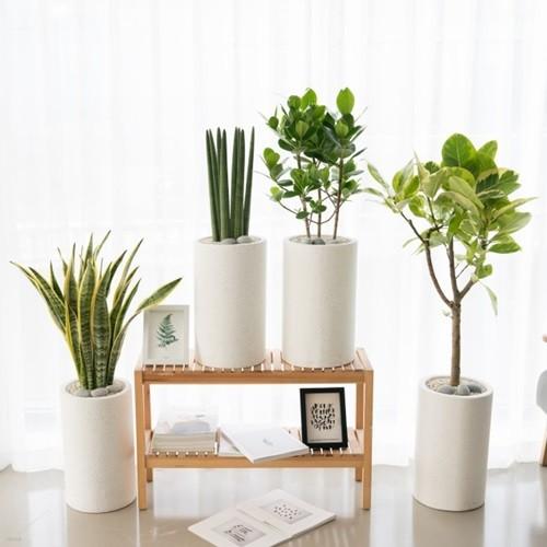 플라랜드 공기정화식물 개업화분 스투키 뱅갈고무나무 산세베리아 크루시아