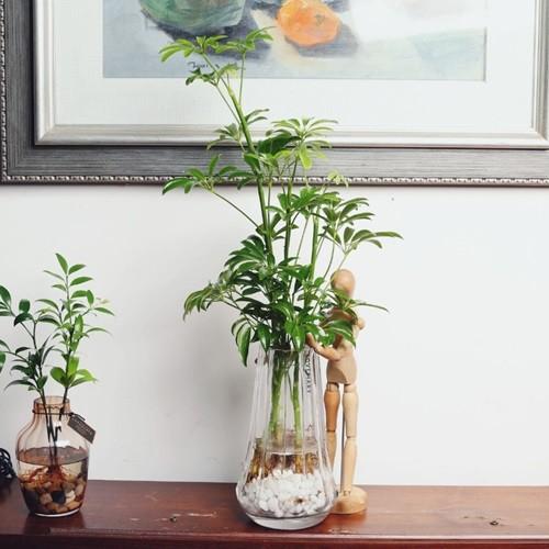 카페인테리어화분 홍콩야자 앤틱 롱쉐이드 수경재배식물