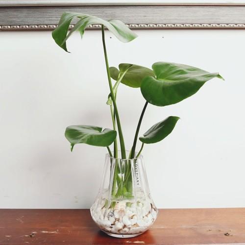 거실인테리어화분 몬스테라 앤틱 쉐이드 수경재배식물