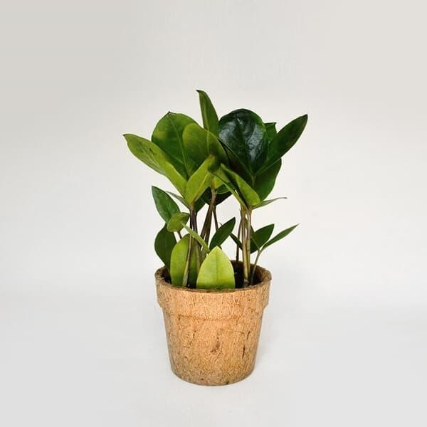 코코넛화분+선물박스 개업 승진 축하 화분 돈 들어오는 식물키우기_금전수