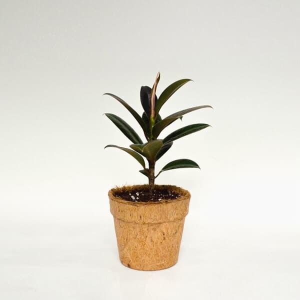 코코넛화분+선물박스 천연 공기청정기 공기정화 최강자 식물키우기_고무나무