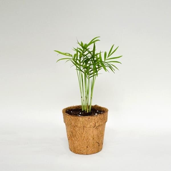 코코넛화분+선물박스 천연 공기청정기 공기정화 바캉스 플렌테리어 식물키우기_테이블야자