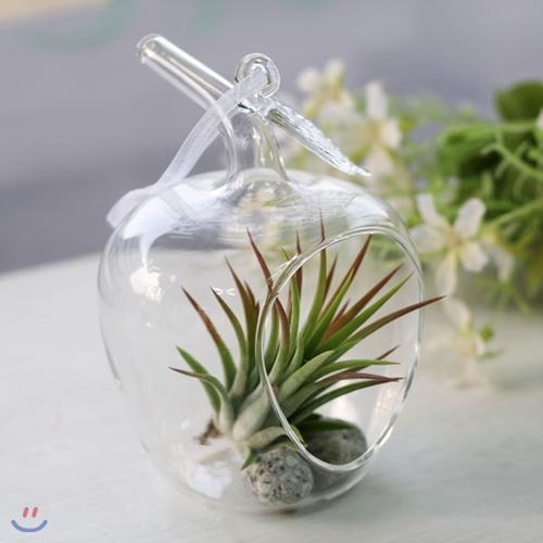 공기정화식물-에어플랜트 애플