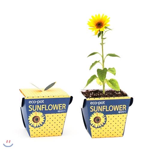 [식물키우기] 꿈쟁이 에코팟_해바라기키우기 (종이화분 식물 DIY)